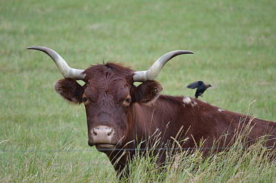 Photograph - Longhorn And Friend by Bonfire Photography