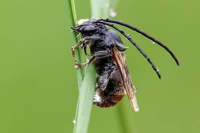 Hymenopteran Insect Photograph - Longhorn Bee by Heath Mcdonald