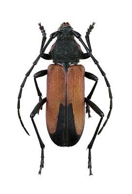 Longhorn Beetle Art Print by F. Martinez Clavel
