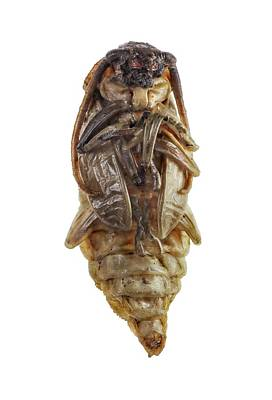 Cut Out Photograph - Longhorn Beetle Nymph by F. Martinez Clavel