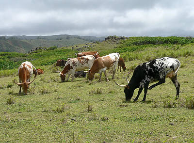 Longhorn Cattle Art Print