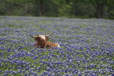 Photograph - Longhorn In Bluebonnets by Jerry Bunger