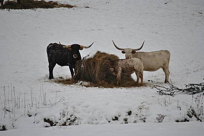 Photograph - Longhorns by Jeffrey Randolph