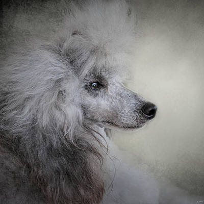 Photograph - Longing - Silver Standard Poodle by Jai Johnson