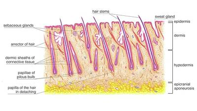 Longitudinal Section Of The Scalp Art Print by Asklepios Medical Atlas