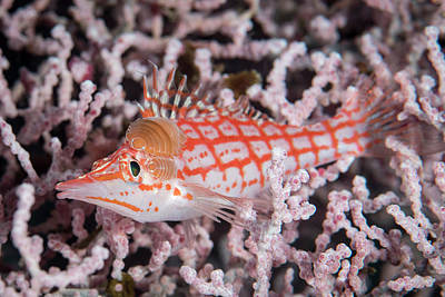 Photograph - Longnose Hawkfish With Isopod by Brandi Mueller