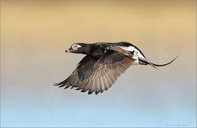 Photograph - Longtailed Duck In Flight by Daniel Behm