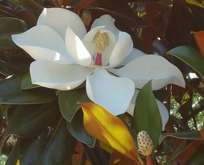 Photograph - Longue Vue Magnolia by Katie Spicuzza