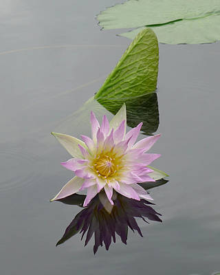 Photograph - Longwood - Water Lily II by Richard Reeve