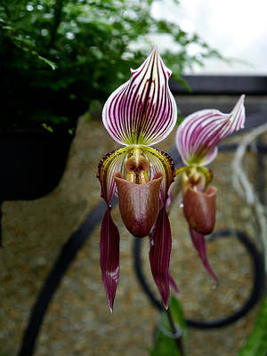 Photograph - Longwood Gardens - Orchid 4 by Richard Reeve