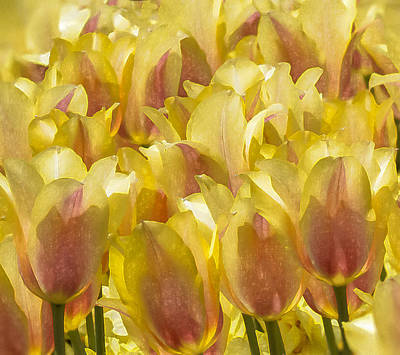 Digital Art - Longwood Gardens Tulips by Jill Balsam