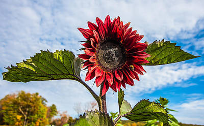 Photograph - Look At Me  Red Sunflower  by Karen Stephenson