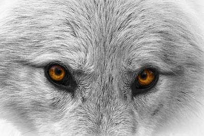 Black. Arctic Wolf Photograph - Look Deeply Into My Eyes by Wes and Dotty Weber