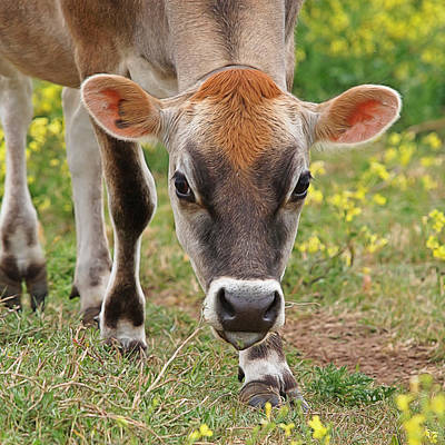 Brown Cow Photograph - Look Into My Eyes - Jersey Cow - Square by Gill Billington