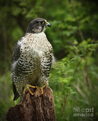 Look Out Point Gyrfalcon In The Forest Art Print by Inspired Nature Photography Fine Art Photography