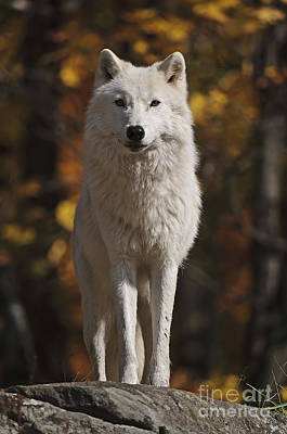 Art Print featuring the photograph Look Out by Wolves Only