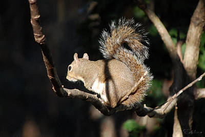 Photograph - Look The Other Way - Gray Squirrel by rd Erickson