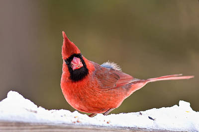 Male Northern Cardinal Photograph - Looking At You by Jeff Sinon