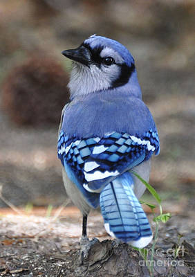 Photograph - Looking Back Bluejay by Kathy Baccari