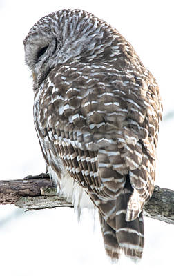 Photograph - Looking Down Barred Owl by Cheryl Baxter