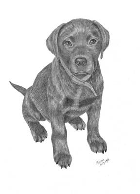 Chocolate Lab Drawing - Looking For Dinner by Patricia Hiltz