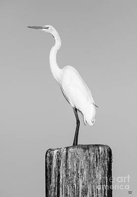 Egret Photograph - Looking For Fish by David Millenheft