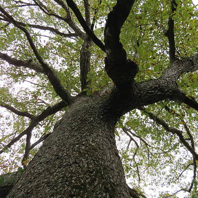 Photograph - Looking Up A Tree by Eric Switzer