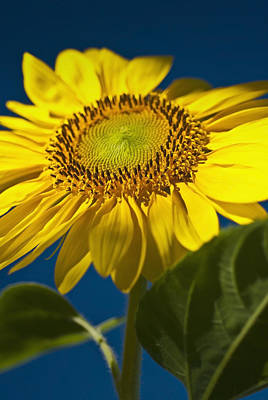 Photograph - Looking Up At A Sunflower by  Onyonet  Photo Studios