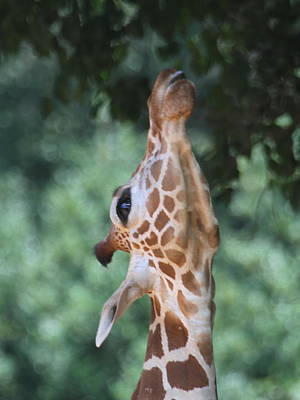 Zoo Photograph - Looking Up by Cathy Lindsey