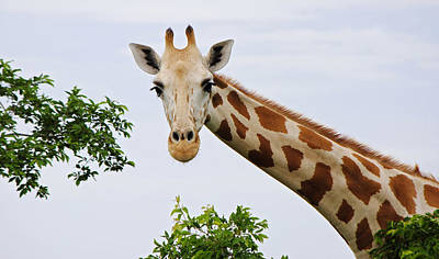 Giraffe Photograph - Looking Up by Kayne  Johnson