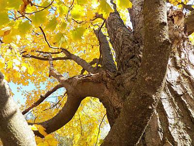 Looking Up The Maple Tree Art Print