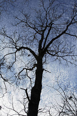 Photograph - Looking Up - Winter Trees Art Print by Jane Eleanor Nicholas