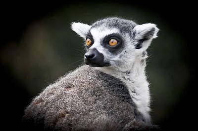 Photograph - Lookout Lemur by Chris Boulton
