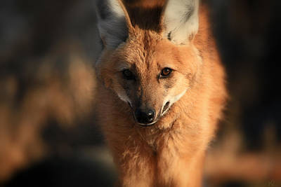 Photograph - Looks Like A Fox by Karol Livote