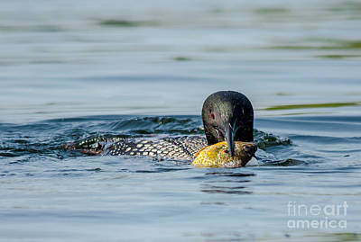 Photograph - Loon And Lunch by Cheryl Baxter