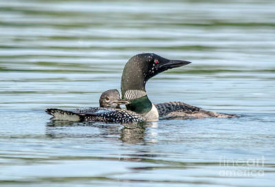 Photograph - Loon And Young by Cheryl Baxter