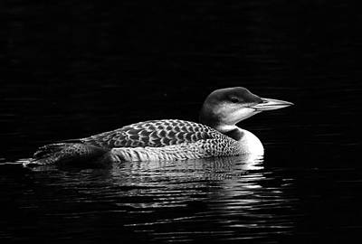 Photograph - Loon At Liberty by Paul Miller