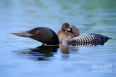 Loon Photograph - Loon Carrying Chick #19 by Jim Block
