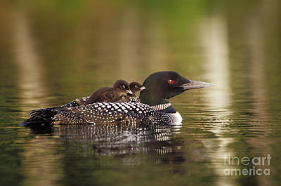 Loon Carrying Two Chicks  42 Art Print by Jim Block