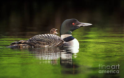 Loon Carrying Two Chicks Art Print