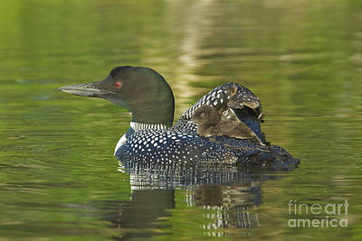 Loon Chick On Parents Back Art Print by Jim Block