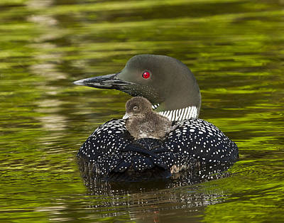 Photograph - Loon Chick Rides On A Parents Back by John Vose