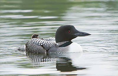 Photograph - Loon Chick Rise And Shine by John Vose