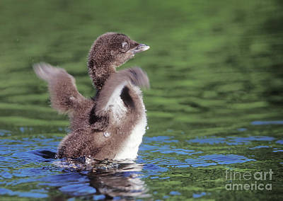 Loon Photograph - Loon Chick Spreading Wings by Jim Block