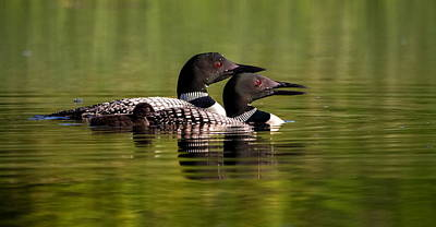 Loon Family Art Print