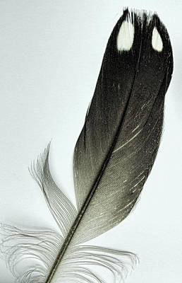 Photograph - Loon Feather by John Crothers