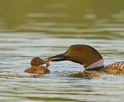 Loon Feeding Chick Art Print by John Vose