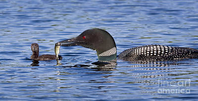 Loon Photograph - Loon Offers Fish To Chick by Jim Block