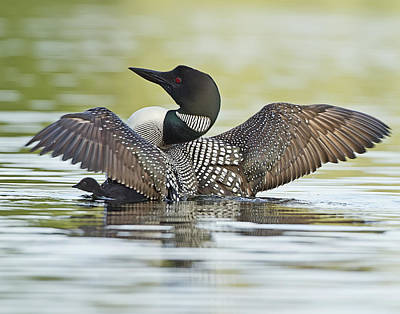 Loon Wing Spread With Chick Art Print
