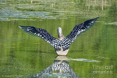 Photograph - Loon Wings by Susan Herber